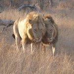 2 leeuwen