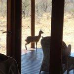 antilope peu farouche