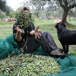 Happy olive picking