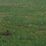 Robin redbreast.