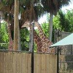 Giraffe at Naples Zoo