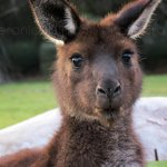 Feeding the kangaroos.