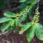 Coffee Cherries in September