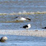 Some gulls