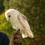 Owl at World Owl Centre, Muncaster Castle