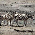 Makanyane Zebras