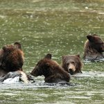 Grizzly mother with three cubs