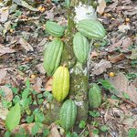 Cacao On The Tree
