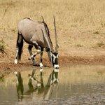Gemsbok 'Oryx'