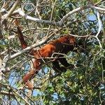 Mono aullador (Alouatta seniculus)