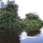 Los bufeos nadan en medio de las copas de los árboles