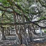 This is the Banyan Tree across the stree from the restaurant