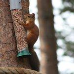 Red Squirrel on Feeder