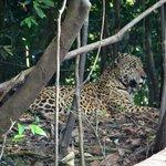 Jaguar seen on river bank on boat ride to Ivy Mara Ey