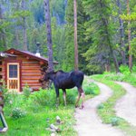 July 2014 - Why did the Moose cross the road at Flat Creek Ranch?