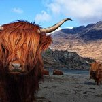 Highland Cows seen in their natural environment 40 minutes away
