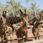 Mornings are best for feeding the giraffes.