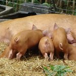 Tamworth Pig and Piglets