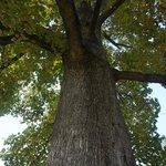 huge tree before bridge