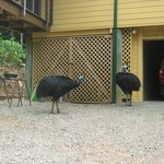 Cassowaries looking at shed