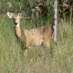 Deer in the Glades.