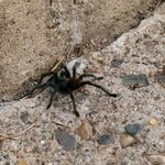 Beware of small tarantulas walking across your path.