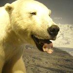 Le isbjörn