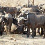 saw huge herds of buffalo