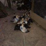 Família de patos