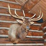 Stuffed Elk's Head