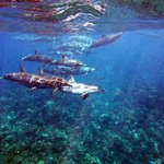 Dolphins in Lanai