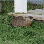 resident marmotte (next door neighbour)
