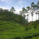 dambatenne tea plantation