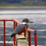 Martín pescador/kingfisher