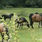 Ponies grazing locally
