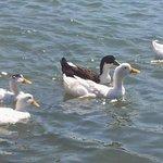 Kaleköyde gezinti yapan şanslı ördekler:))