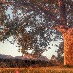 Main farmhouse oaktree