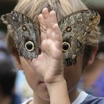 two owl butterflies