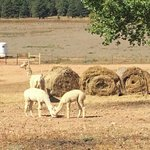 Alpacas at the Ranch