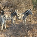 Caught the attention of a couple of Zebra's