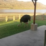 Waking up to an ostrich on your doorstep! Classic!