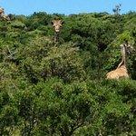 A trio of inquisitive Giraffe
