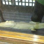 Albino alligator at Fudpuckers