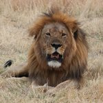 Jericho one of the male lions