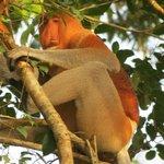 Avistamiento de mono narigudo, ¡de muy cerca!
