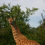 see a giraffe from your chalet
