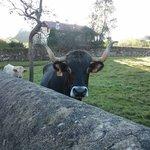Vacas vecinas