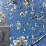 Spire of St. Patrick's Cathedral as seen through branches of cherry blossoms.