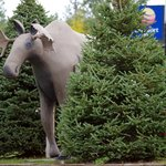 The only moose we saw in this area was the moose out front of the Comfort Inn.