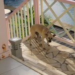 При отеле живут две собаки, которые любят ходить в гости по утрам